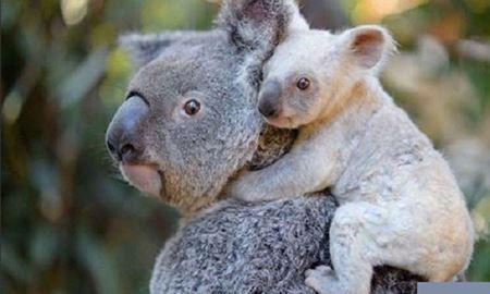 """تولد یک """"کوالای سفید"""" در باغ وحش استرالیا"""
