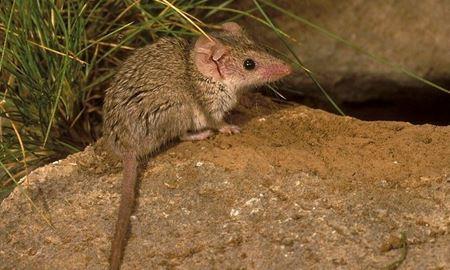 کوچکترین پستاندار و کیسه دار جهان در استرالیا