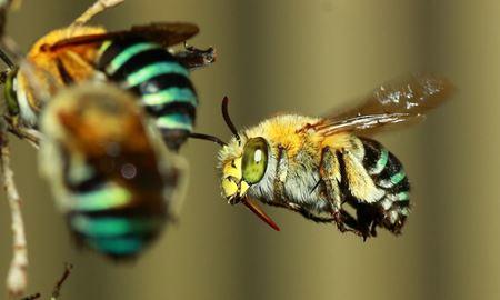 """پژوهش جدید دانشمندان دانشگاه آر ام آی تی ملبورن،""""زنبورها مسائل ریاضی را با جمع و تفریق حل می کنند"""""""