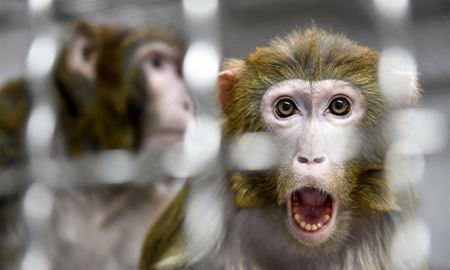 بحث اخلاقی سلولهای انسانی در رویان میمون