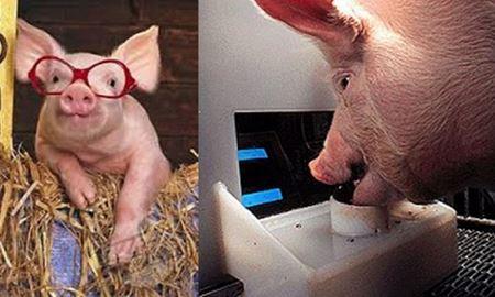 خوکهای گیمر برای دریافت غذا بازی ویدئویی انجام میدهند